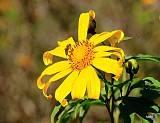 Mộc Châu Rực Rỡ Hoa Dã Quỳ Vàng Ngày Đông,moc chau ruc ro hoa da quy vang ngay dong